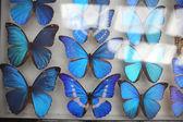 Blue morpho butterflies — Stock Photo