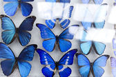 Morpho butterflies — Stock Photo
