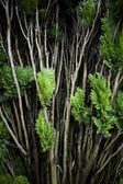 Cedar branches — Stock Photo