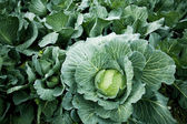 Green cabbage — Stock fotografie