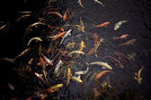 Koi fish swim — Foto Stock
