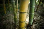 Bamboo tree trunks — Stock Photo