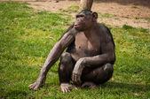 Chimpanzee in Lisbon Zoo — Stock Photo