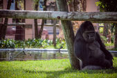 Gorilla in Lisbon Zoo — Stock Photo