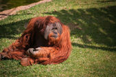 orangoutang in Lisbon Zoo — Stock Photo