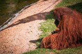 Orangoutang in lissabon zoo — Stockfoto