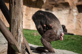 Chimpanzee in Lisbon Zoo — Stock Photo