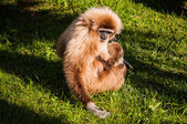 Gibbon in Lisbon zoo — Stock Photo