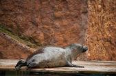 Seal in Lisbon Zoo — ストック写真