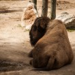 Buffalo in Lisbon Zoo — Stock Photo #49930047