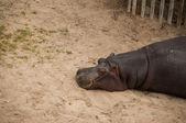 бегемот — Стоковое фото