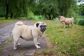 Two little pugs walking outdoors — Stock Photo
