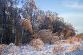 Forest after ice rain — Stock Photo