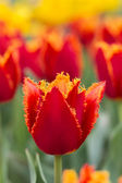 One red-yellow tulip on a background of red and yellow tulips. — Stock Photo