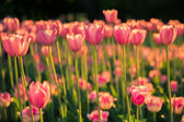 The pink tulips on dark background in the sunlight. — Stockfoto