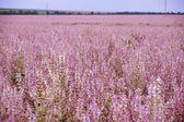 Field of pink flovers Salvia sclarea — 图库照片