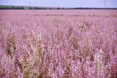 Field of pink flovers Salvia sclarea — Stockfoto