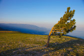 Curve pine stands on top of the mountain — Stockfoto