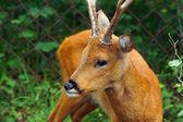 Siberian roe deer — Stockfoto