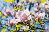 Beautiful pink magnolia flowers blossom closeup — Stock Photo