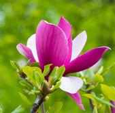 Beautiful pink magnolia flower blossom closeup — Stock Photo