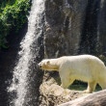 Polar bear — Stock Photo #50235139
