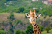 Giraffe in zoo Prague — Stock Photo