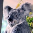 Australian Koala Bear — Stock Photo #51203673