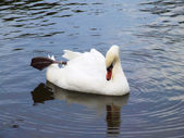 White swan on the water surface. — Foto Stock