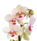White and violet orchid  — Stock Photo