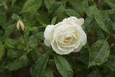 Creamy White Rose — Stock Photo