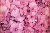 Hydrangea hortensis — Stockfoto