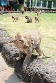 Affenmutter mit Jungem — Stock Photo