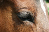 Auge vom Trakener — Stock Photo