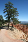 Bryce Canyon Baum — Stockfoto