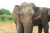 Elefantenbulle Portrait — Stock Photo