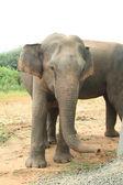 Elefantenbulle Hochformat — Stock Photo