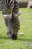 Zebra frisst — Stock Photo