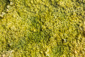 Bubbles in algae — Stock Photo