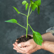 Hands holding a plant growing — Stock Photo #48035003