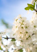 The blossoming cherry spring photo at the setting sun — Stock Photo