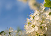 La foto de cereza primavera floreciente en la puesta de sol — Foto de Stock