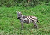Zebra — Zdjęcie stockowe