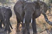 Comer elefantes — Foto de Stock
