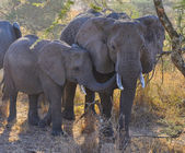 Family of elephants — Stock Photo