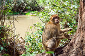 Barbary macaque — Stock Photo