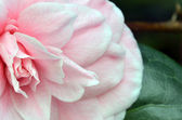 Pink rose. Closeup. Macro — Photo
