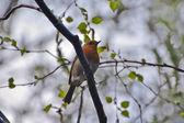 Robin sits on the branch. Alexandra Park. London — Stock Photo