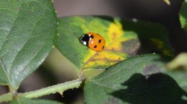 Ladybug sitting on leaves roses. Holland Park. London. UK — Stock Video