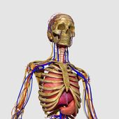 Human Anatomy — Stock Photo